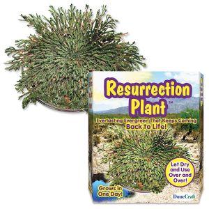 Resurrection Plant